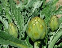 Propiedades de la alcachofa para bajar el colesterol