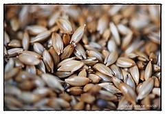 semillas de alpiste