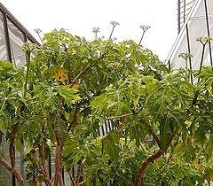 Propiedades de las hojas de chaya