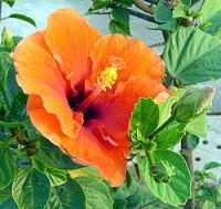 Flor de hibiscus