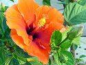 Propiedades del té de flores de hibiscus para reducir el colesterol