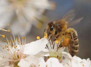 Polen de abejas