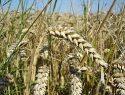 Propiedades del germen de trigo contra el colesterol y los triglicéridos