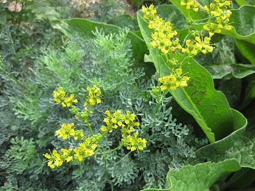 3 plantas medicinales contra los triglic ridos altos - Plantas para setos altos ...